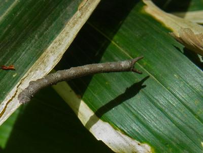 トビモンオオエダシャクの幼虫