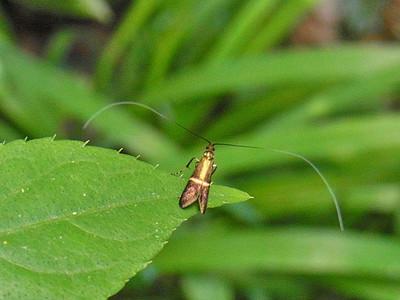 ホソオビヒゲナガ♂
