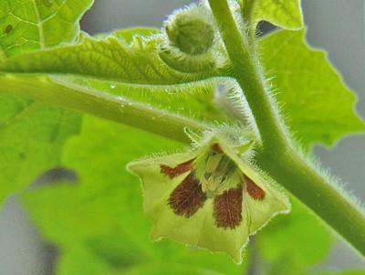 トマティージョ「ビッグオレンジ」の花