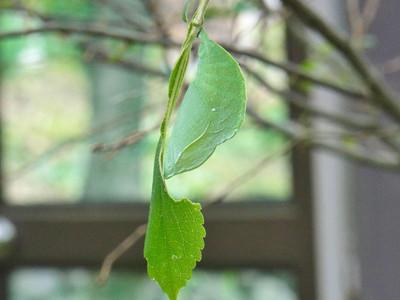 オオムラサキの蛹