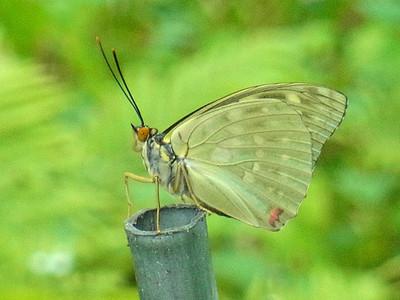オオムラサキの成虫