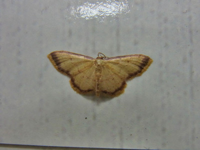 キオビベニヒメシャク