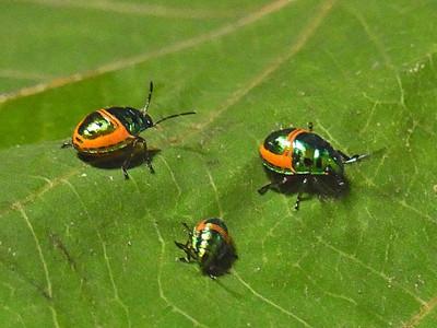 ミヤコキンカメムシの幼虫