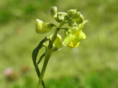 ヤブツルアズキ(花と実)