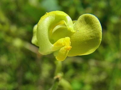 ヤブツルアズキ(花)