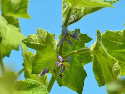 フォックスフェイス(ツノナス)の花