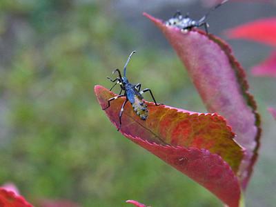 キバラヘリカメムシの幼虫