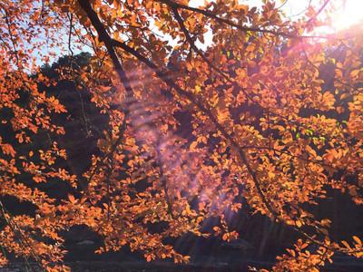 カマツカの紅葉