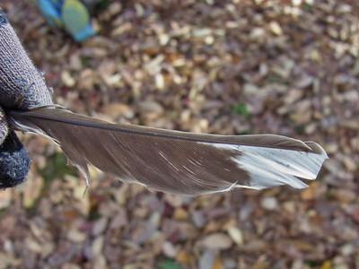 シロハラの羽