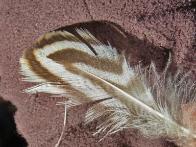 カモ類の羽
