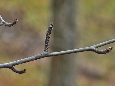 アオハダの冬芽