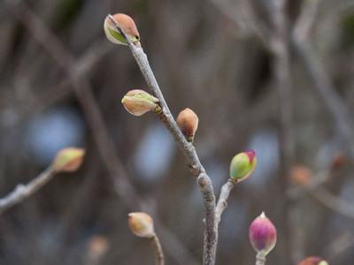トサミズキ花芽
