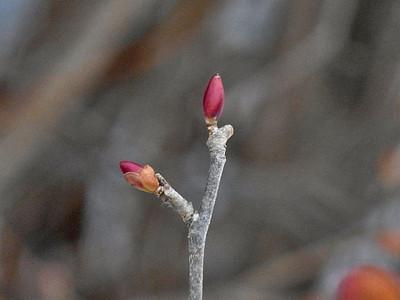 トサミズキ葉芽