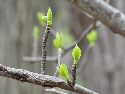 アオハダの新芽