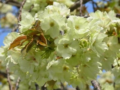 桜(ウコン)