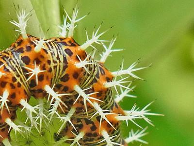 ルリタテハ終齢幼虫