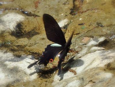 オナガアゲハ♂