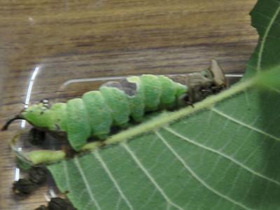 ムラサキシャチホコ幼虫