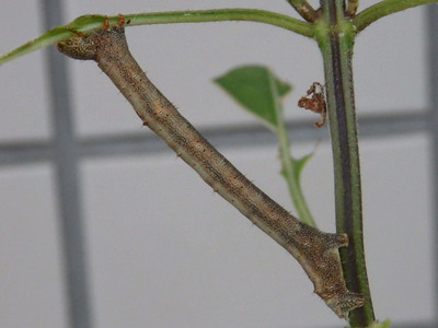 ヨモギエダシャク幼虫