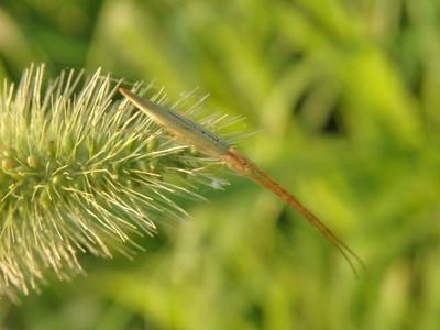 アシナガグモの一種