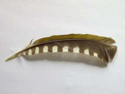 アオゲラの羽?
