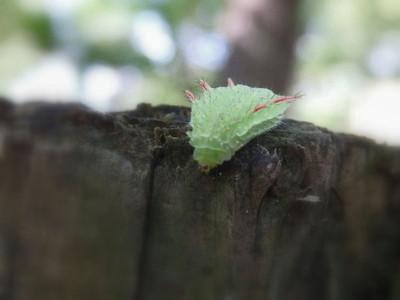 アカイラガの幼虫
