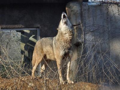 タイリクオオカミ