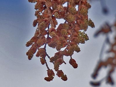 メタセコイア雄花