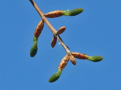 メタセコイアの雌花