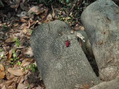 ヘリグロベニカミキリ