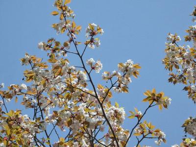 桜(予野の八重桜)