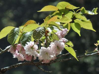 桜(麒麟)
