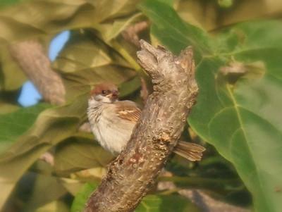 スズメの幼鳥