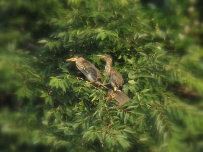 ササゴイ幼鳥