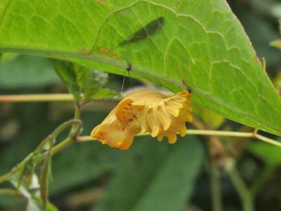 ジャコウアゲハ蛹