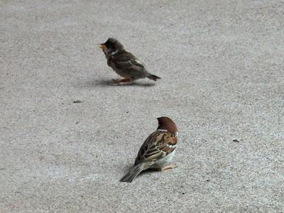 スズメ幼鳥と成鳥