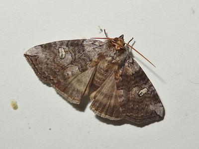 オオバトガリバ
