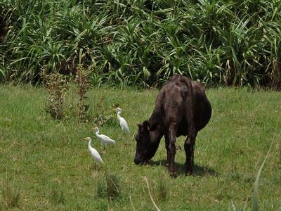 アマサギと牛