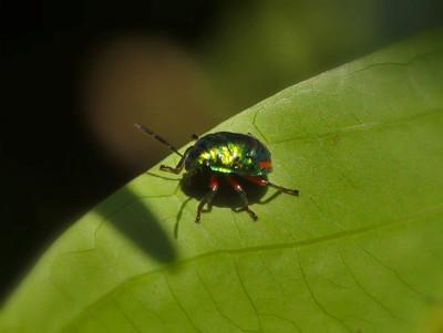ナナホシキンカメムシ幼虫
