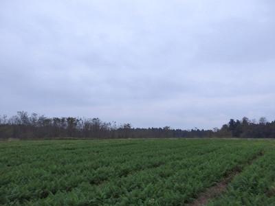 ニンジン畑