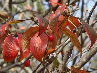 サンシュユの紅葉