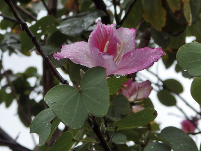 ヨウテイボクの花