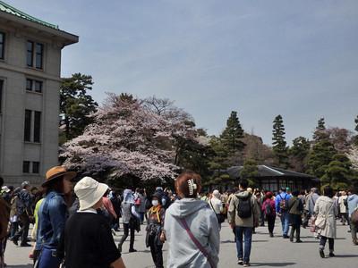 宮内庁近くの桜