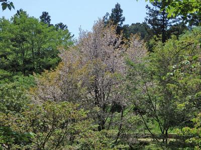 予野の八重桜