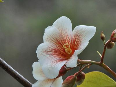 シナアブラギリ雄花