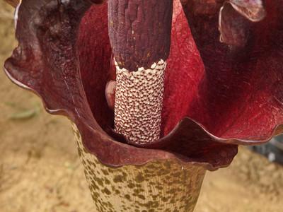 コンニャクの花