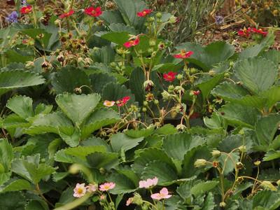 赤い花のイチゴ