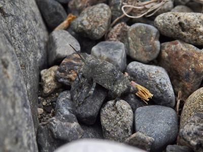 カワラバッタ幼虫