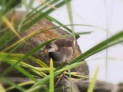 バンの幼鳥