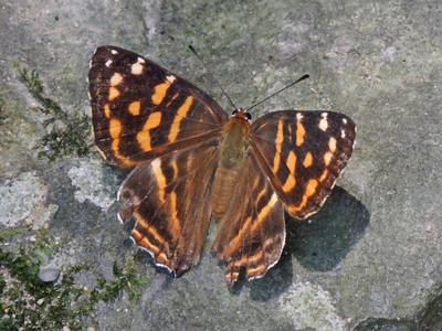 シジミタテハ